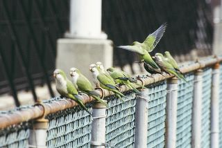 Eight wild quaker parrots and a starling perch on a Brooklyn cyclone fence