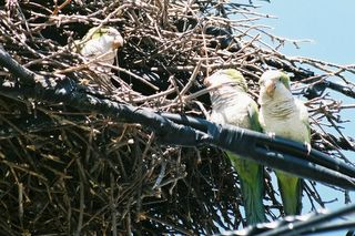 Three wild monk parakeets converse on their nest on Brooklyn's Avenue I