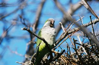 A wild monk parrot in Edgewater, New Jersey, sounds off on a Spring day