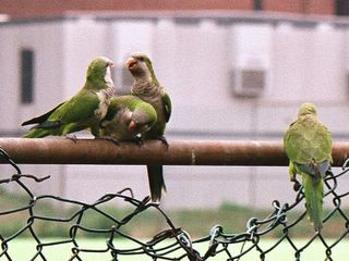 Four Wild Quaker parrots on a fence in Brooklyn