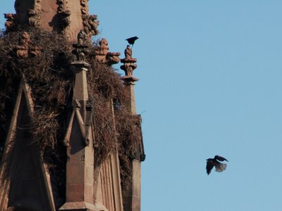 Two crows attack a Monk Parakeet Nest in Brooklyn's Green-Wood Cemetery.