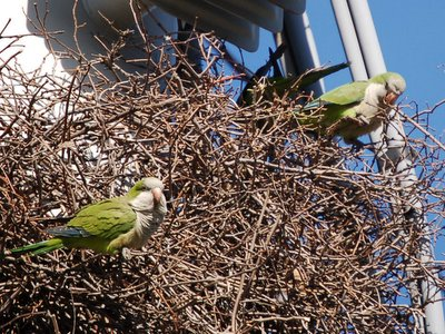 Two monk parrots survey their workmanship on the 8th Avenue nest