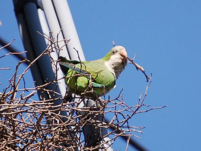 Quaker parrot weaving twig into nest on 8th Avenue
