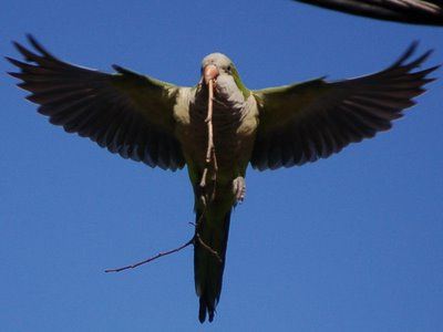 Monk parakeet flying with twig in beak