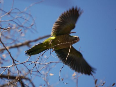 A parrot flying with a twig in his beak
