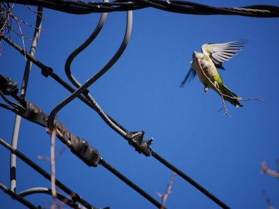 A quaker parrot glides into an 8th Avenue nest with a twig