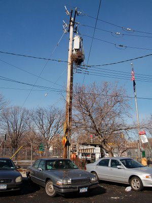 The pole nest on 8th Avenue in which the wild parrots live