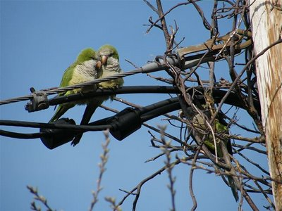 A pair of wild Long Island parrots perch on a guy wire adjacent to their well-crafted condo nest.