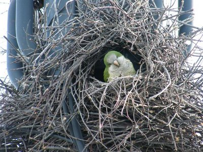 A suburban parrot peers out of a nest carefully crafted out of twigs.