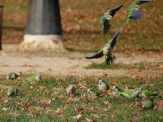 The Bronx parrots spend a lot of time foraging on the field