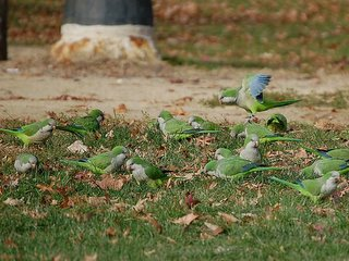 Bronx parrots love the clover in the ball field