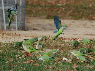 The parrots do foraging goes all day