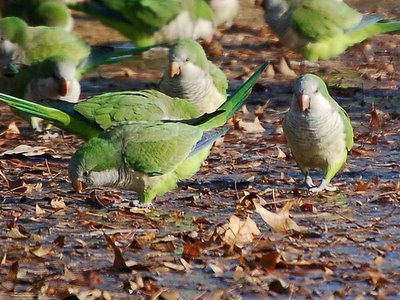 Monk Parrot Aggression - Approach of the annoyer