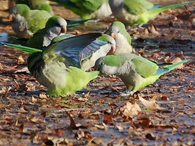 Monk Parrot Aggression - Ouch - now that's aggressive