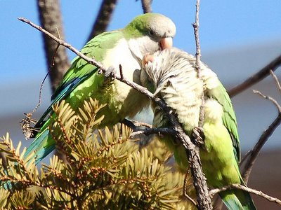 Amorous parrots on Brooklyn's Avenue I