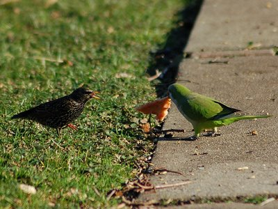 An argument between a monk parrot and a starling over a slice of pizza. Photo 3 of 3