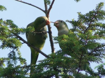 Two wild baby Quaker Parrots nosh on fresh pine cones in Brooklyn's Green-Wood Cemetery.