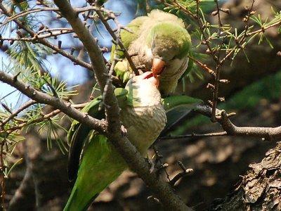 Mother monk parrot effecting beak-to-beak nutrition transfer