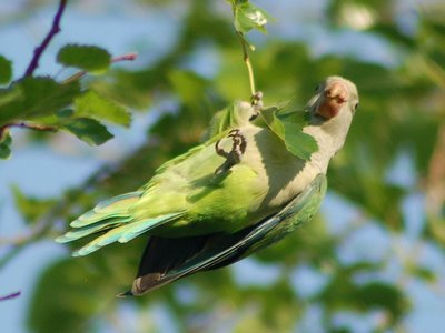 A wild baby Quaker Parrot in Brooklyn's Green-Wood Cemetery dangles from the end of a branch before cutting it.