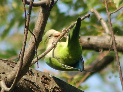 A wild Monk Parakeet in Brooklyn's Green-Wood Cemetery demonstrates proper twig-cutting technique.