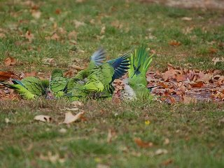 Furious flapping accompanies a group bath of wild parrots in the Bronx, December 2005