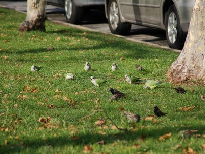 Even though the rebuilt Dust Bowl will be made of inedible Astroturf, the parrots will still be able to forage across the street. Here a group of birds searches for tasty treats on 66th Street.