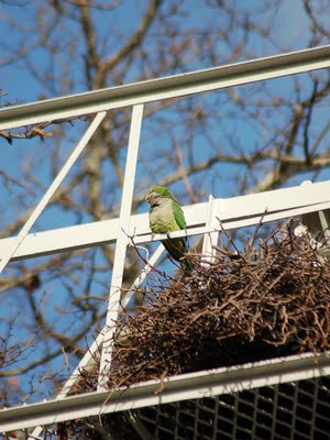 A wild parrot in Bay Ridge surveys takes a break from reconstructing his clan's huge communal nest. Photo by Steve Baldwin, taken December 14, 2009.