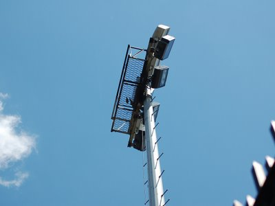 Wild parrot nest removals at Brooklyn College, June 2007. Photo 3 of 3