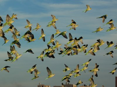 Wild Quaker Parrots in Flight, Edgewater, New Jersey, Photo 6 of 9