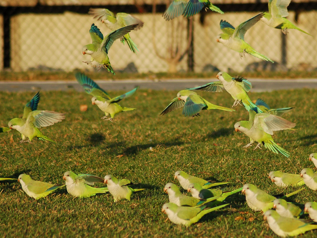 photo article untamed parrots from brooklyn