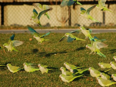 Wild Quaker Parrots Taking Off, Edgewater, New Jersey, Photo 5 of 9