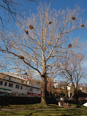 Quaker Parrot Nests in a Tree, Edgewater, New Jersey, Photo 4 of 9