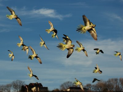 Wild Quaker Parrots in Flight, Edgewater, New Jersey, Photo 1 of 9