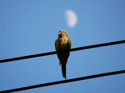 A wild Bay Ridge monk parrot on a power line watches the darkening sky