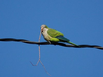 Wild monk parrot on wire over Brooklyn's Avenue I