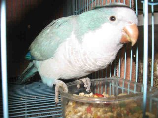 Blue Quaker Parrot Rescued from California Shelter
