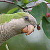 Yacolt Wild Parrot Preservation Efforts Continue (With a Few Hitches)