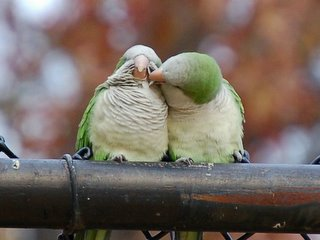 Close up of two wild parrots in the Bronx who are grooming each other