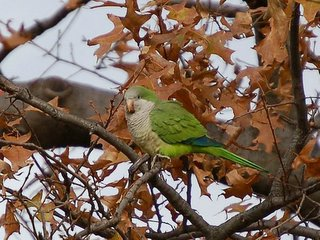 A Bronx parrot, looking very Phat, perches in a tree in Pelham Bay Park