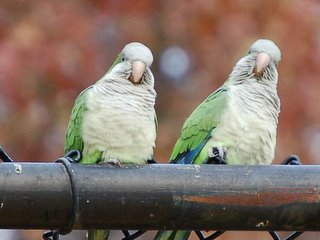 Close up of two wild parrots in the Bronx