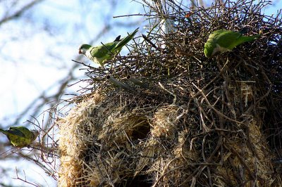 Wild Quaker Parakeets in Connecticut working on their monk bunkers