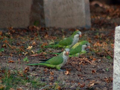 A group of Wild Quaker Parrots at Brooklyn's Green-Wood Cemetery walk among the tombstones