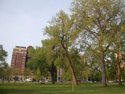 The original parrot colony occupies multiple nests in four trees on the South side of Harold Washington Park.