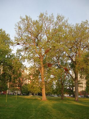 Several wild quaker parakeet nests are visible in this large tree in Chicago's Harold Washington Park