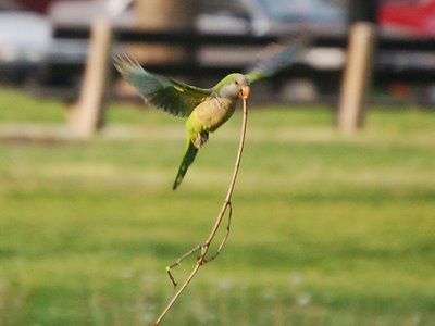 A Chicago monk parrot lifts off with a heavy twig in its beak. Photo 2 of 3.