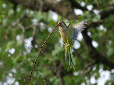 A Hyde Park Quaker Parakeet lifts a large thorny twig up to his nest along the lake
