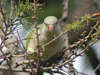 A nervous quaker parakeet eats lunch in a Brooklyn tree just minutes before a hawk attack