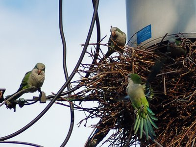 Several wild parrots in Edgewater New Jersey work on a commmunal nest