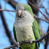 Time Running Out for Yacolt Wild Parrots: Please Help!