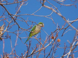 quaker parakeet cutting a twig for nest construction